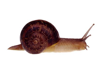 Snail Ooze (KNU)