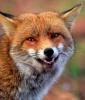 Fox Tattoo Symbolism: