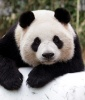 Panda Tattoo Symbolism: