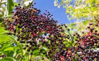 4 Reasons Elderberry Is Our New Favorite Superfood